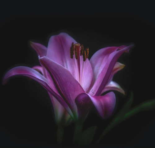 Violet blossom in front of dark background